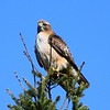 Red tailed Hawk in Douglas Fir, Mt. Tamalpais State Park