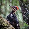Pileated woodpecker, Mt. Tamalpais State Park