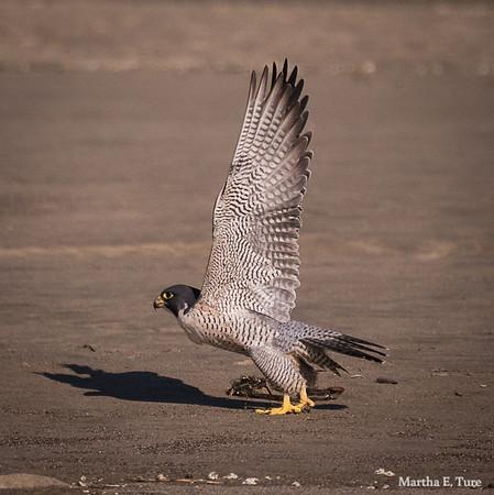Peregrine falcon Taking Off