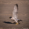 Peregrine falcon Taking Off