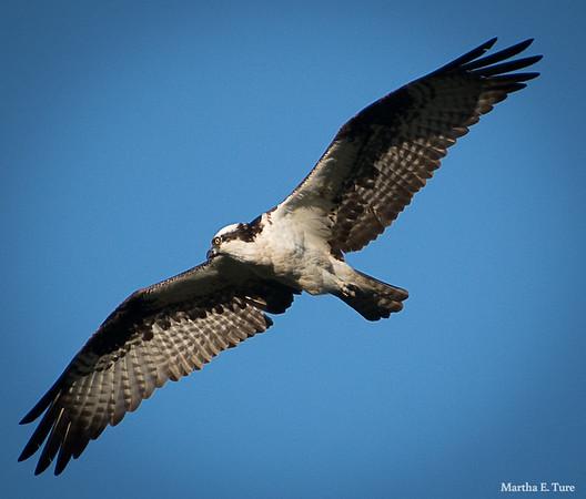 Male Osprey in Flight
