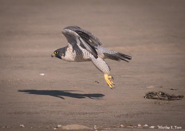 Peregrine falcon liftoff