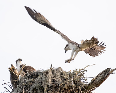 Osprey landing at the nest