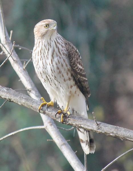 Coppers Hawk outside my window Dec 2020