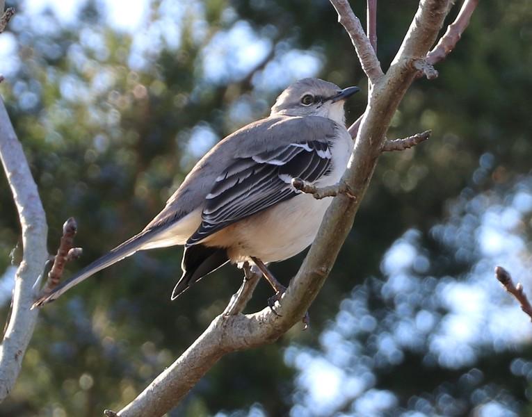 Bird Yeah, Yeah Yeah, Mockingbird oh .....