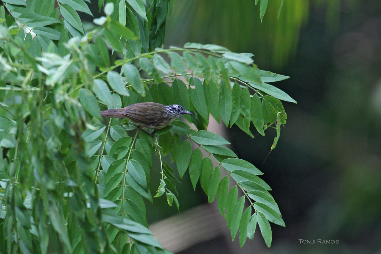 BROWN TIT-BABBLER <i>Macronous striaticeps</i> Malasag, Cagayan de Oro, Mindanao, Philippines
