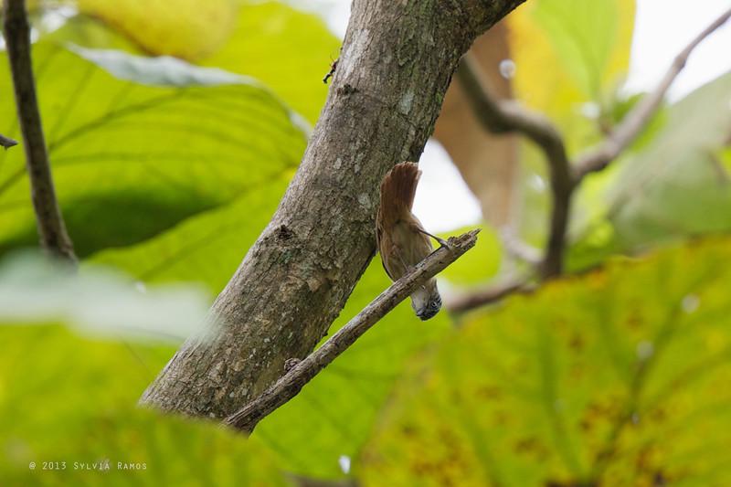 BROWN TIT-BABBLER <i>Macronous striaticeps</i> Malasag, Cagayan de Oro, Mindanao, Philippines