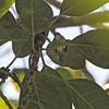 MINDANAO MINIATURE BABBLER <i>Micromacronus sordidus</i> Mt. Matutum Protected Landscape, South Cotobato