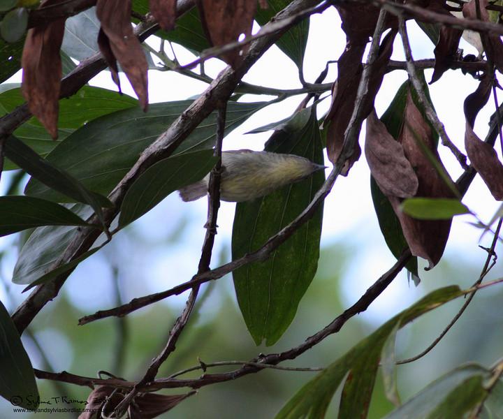 PIN-STRIPED TIT-BABBLER <i>Macronous gularis woodi</i> Sabang, Palawan  view of the underside