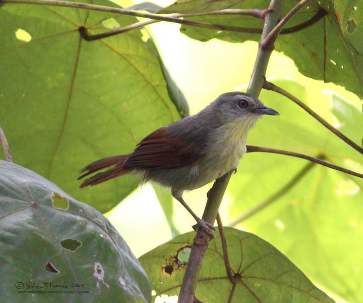 PIN-STRIPED TIT-BABBLER <i>Macronous gularis woodi</i> Sabang, Palawan