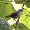 PIN-STRIPED TIT-BABBLER <i>Macronous gularis woodi</i> Sabang, Palawan