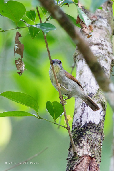 PIN-STRIPED TIT-BABBLER <i>Macronous gularis woodi</i> Puerto Princesa, Palawan
