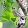 PIN-STRIPED TIT-BABBLER <i>Macronous gularis woodi</i> Puerto Princesa, Palawan