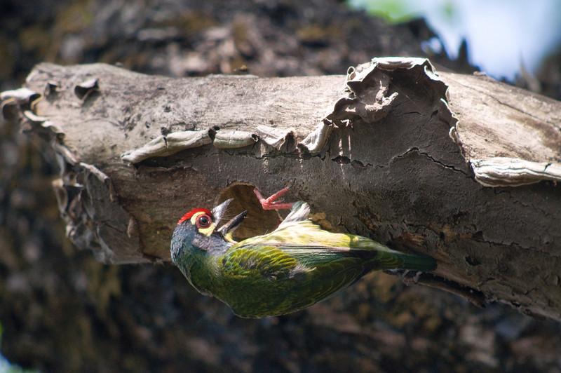 COPPERSMITH BARBET <i>Megalaima haemacephala</i> UP, Diliman, Philippines