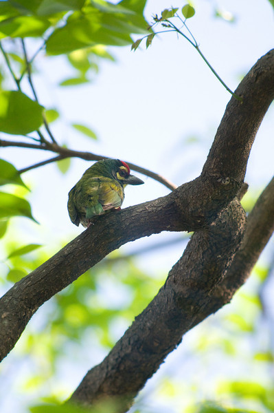 COPPERSMITH BARBET <i>Megalaima haemacephala</i> UP, Diliman, Philippines
