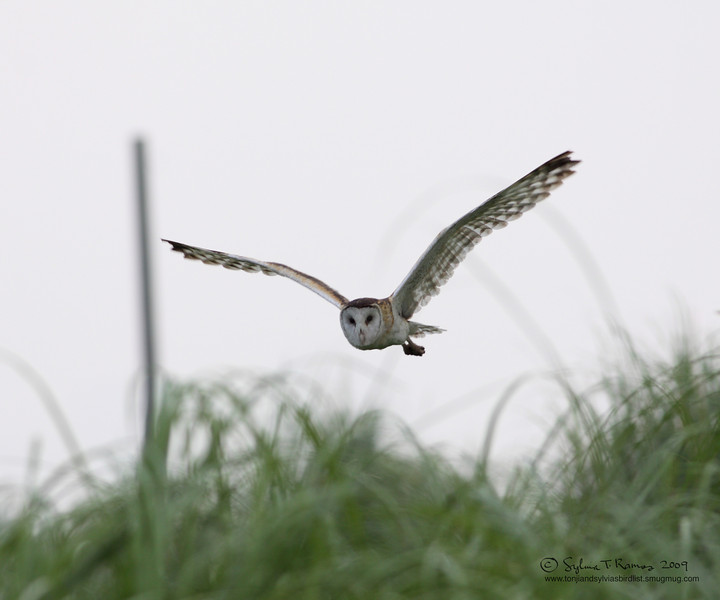 Eastern Grass Owl <i>Tyto longimembris</i> Manila Bay, Philippines