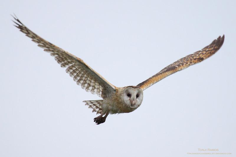 Eastern Grass Owl <i>Tyto longimembris</i> Manila Bay, Philippines