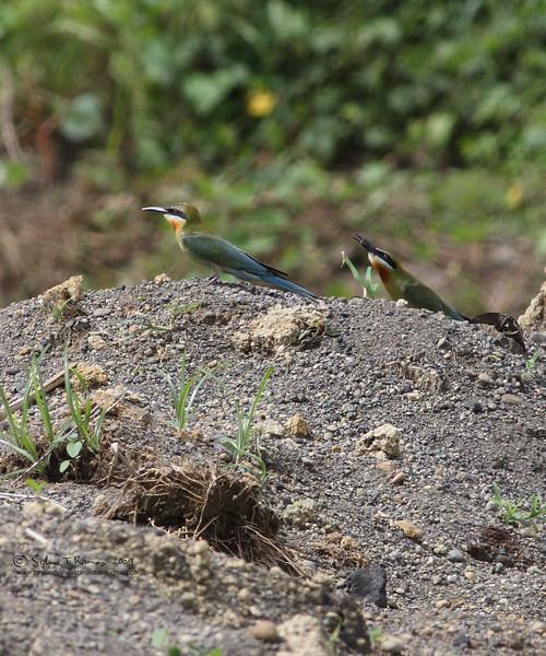 BLUE TAILED BEE EATER <i>Merops philippinus</i> Sta. Elena Golf Club, Philippines