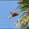 BLUE TAILED BEE EATER <i>Merops philippinus</i> Ayala Alabang, Muntinlupa, Philippines