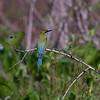 BLUE TAILED BEE EATER <i>Merops philippinus</i> Candaba, Pampanga, Philippines