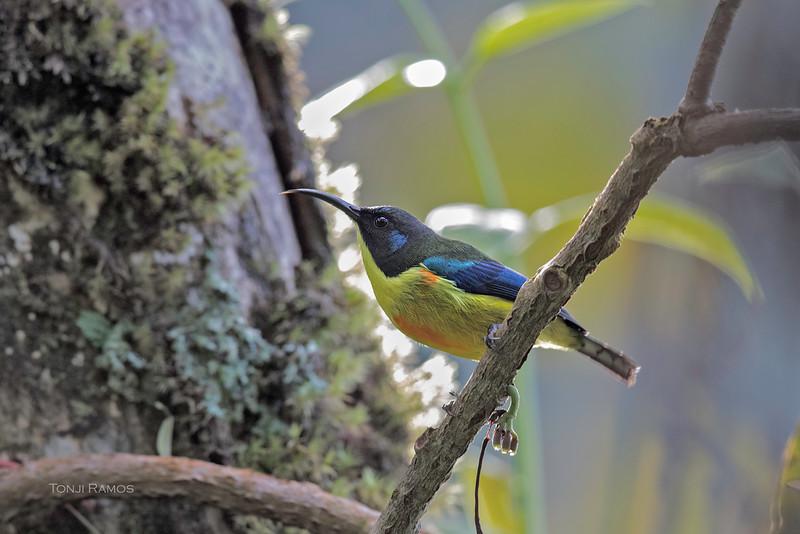 Mindanao Lorikeet <i>Trichoglossus johnstoniae</i> Compostela Valley  November 2015 Bird number 490