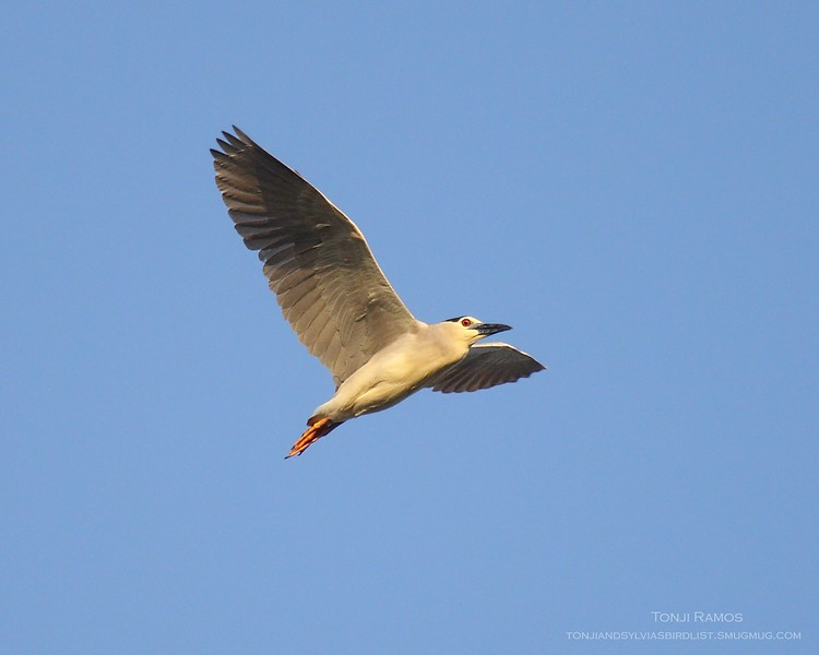 BLACK CROWNED NIGHT HERON <i>Nicticorax nycticorax</i> Manila Bay, Philippines