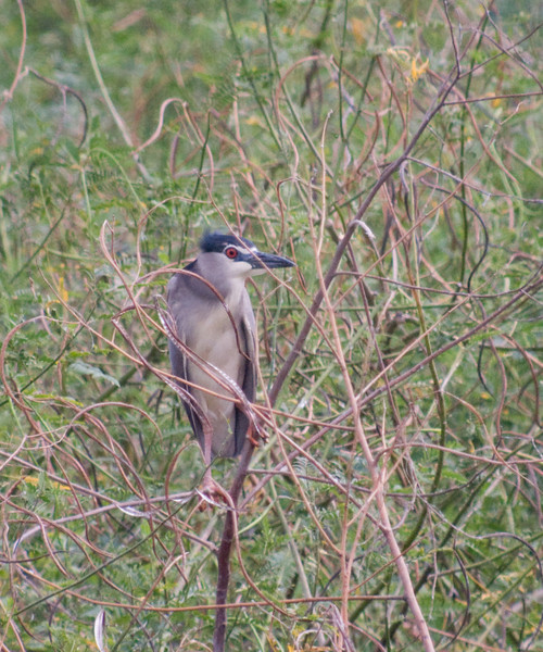 BLACK CROWNED NIGHT HERON <i>Nicticorax nycticorax</i> Candaba, Pampanga, Philippines