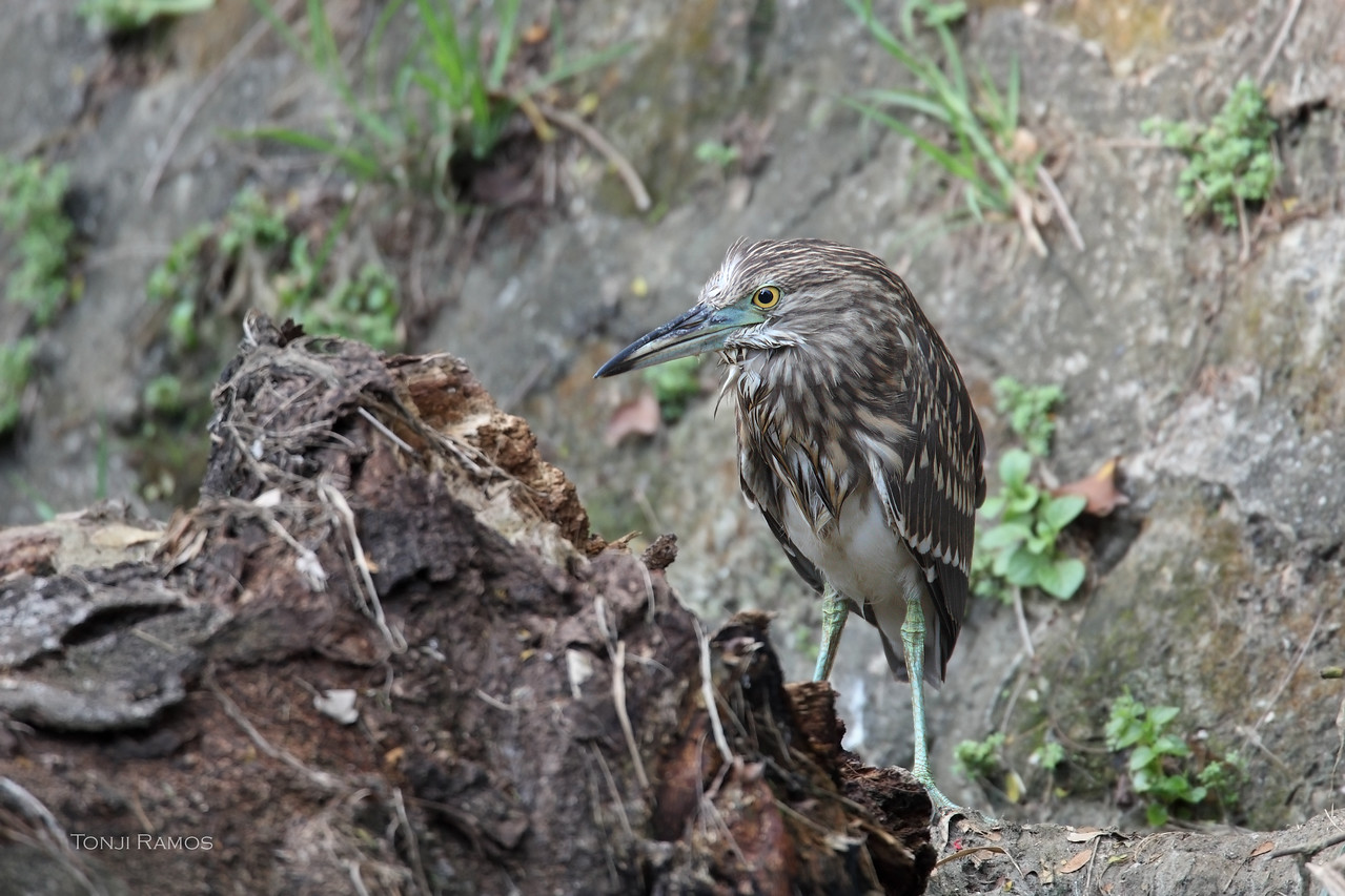 BLACK CROWNED NIGHT HERON, immature <i>Nicticorax nycticorax</i> Alabang, Philippines
