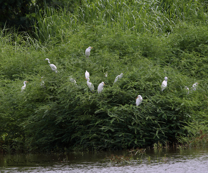 EASTERN CATTLE EGRET <i>Bubulcus ibis</i> Sta. Elena Golf Club, Philippines