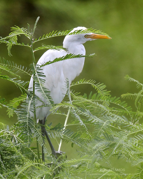 EASTERN CATTLE EGRET <i>Bubulcus ibis</i> Sta. Elena Golf Club, Philippines