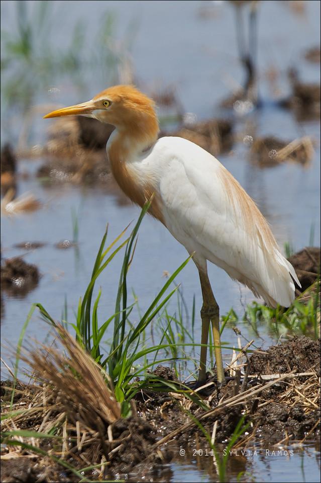 EASTERN CATTLE EGRET, breeding plumage <i>Bubulcus ibis</i> Iwahig, Puerto Princesa, Palawan