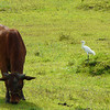 EASTERN CATTLE EGRET <i>Bubulcus ibis</i> Caylabne, Cavite, Philippines