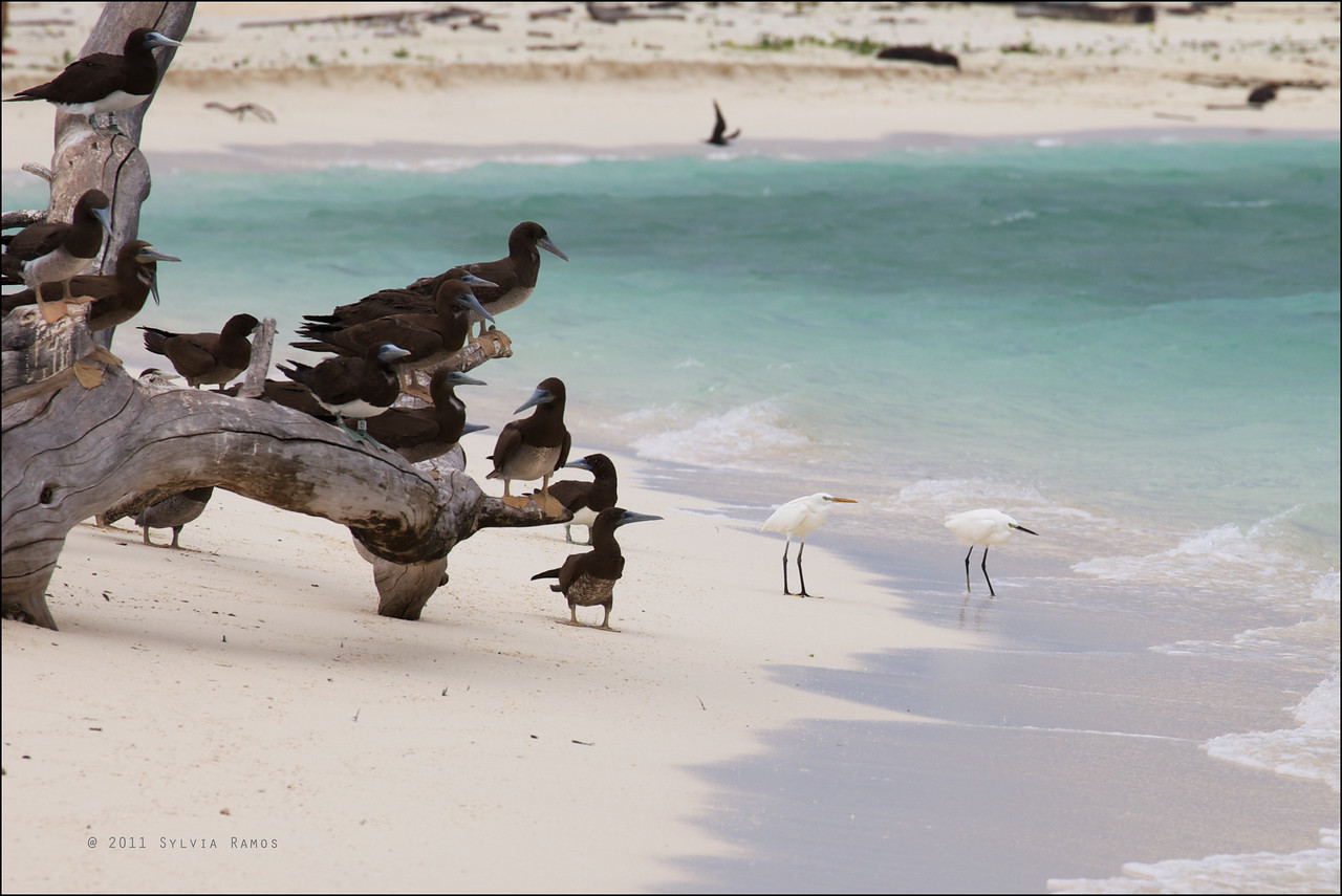 CHINESE EGRET, with Brown Boobies <i>Egretta eulophotes</i> Tubbataha Reef, Sulu Sea