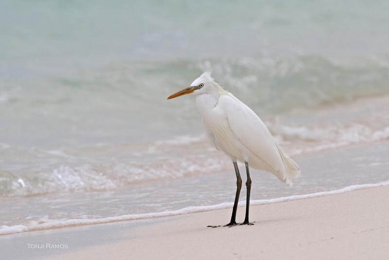 CHINESE EGRET, breeding plumage <i>Egretta eulophotes</i> Tubbataha Reef, Sulu Sea