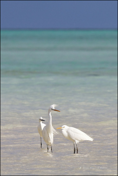 CHINESE EGRET, with one Little Egret <i>Egretta eulophotes</i> Tubbataha Reef, Sulu Sea