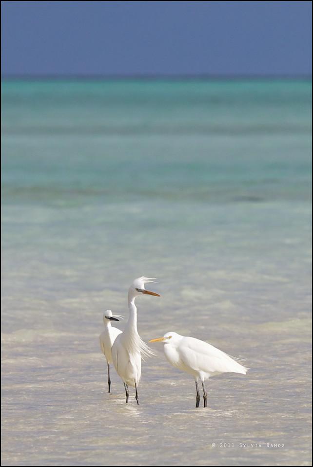 CHINESE EGRET, with one Little Egret <i>Egretta eulophotes</i> Tubbataha Reef, Sulu Sea