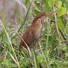 CINNAMON BITTERN <i>Ixobrychus cinnamomeus</i> Masantol, Pampanga, Philippines
