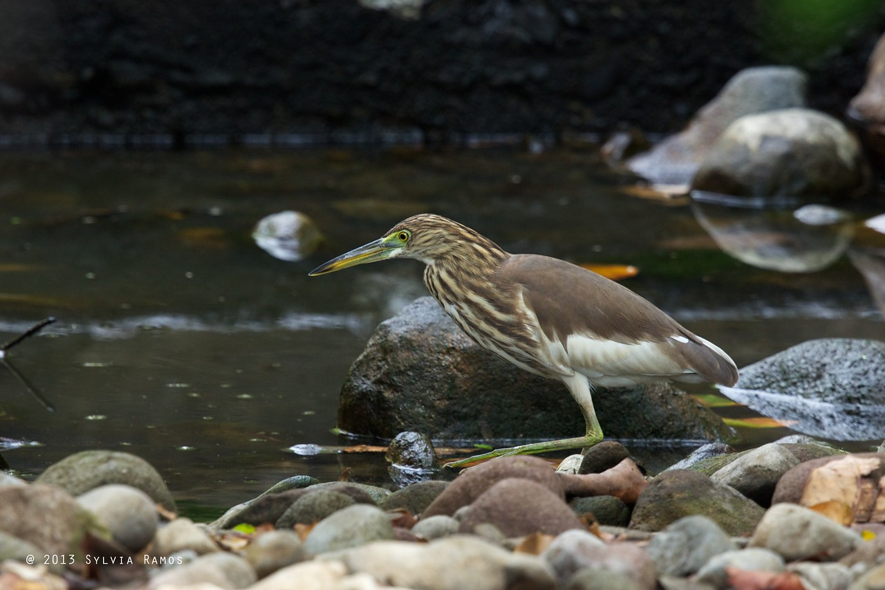CHINESE POND HERON <i>Ardeola bacchus</i> Basco, Batanes, Philippines  ID of this bird that is in non-breeding plumage is from Rob Hutchinson. Waiting to see if Arne Jensen of the WBCP Records Committee will also  accept this record.