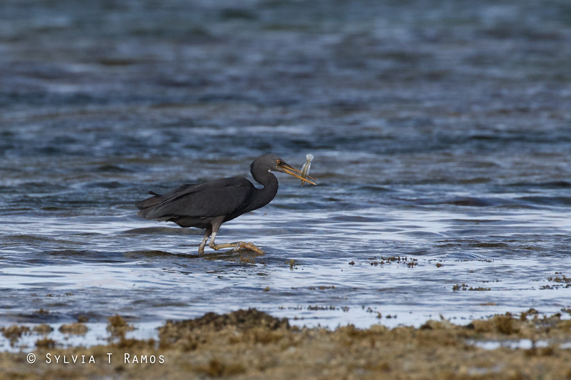 PACIFIC REEF HERON