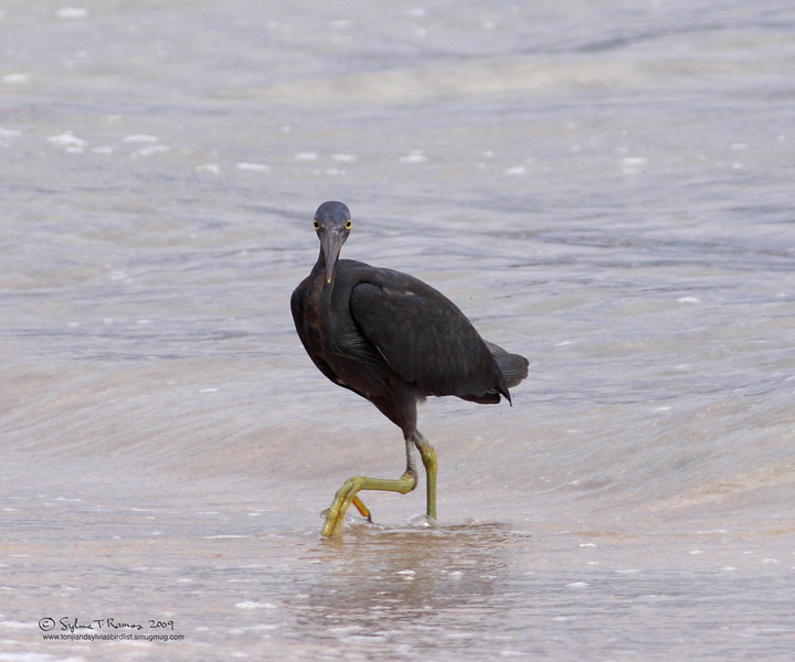 PACIFIC REEF HERON <i>Egretta sacra</i> Sabang, Palawan, Philippines  This is what it looks like front view!
