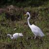 GREAT EGRET  <i>Egretta alba</i>  Sabang, Palawan