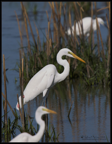 GREAT EGRET  <i>Egretta alba</i>  Candaba, Pampanga, Philippines