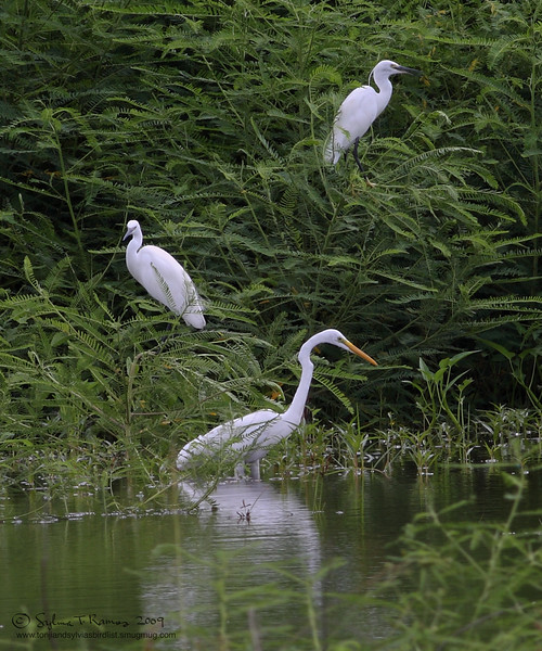 GREAT EGRET  <i>Egretta alba</i>  Sta. Elena Golf Club, Philippines