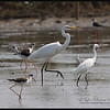 GREAT EGRET  <i>Egretta alba</i>  Candaba, Pampanga, Philippines  Great Egret with a Little Egret, Black Winged Stilts, and a Marsh Sandpiper