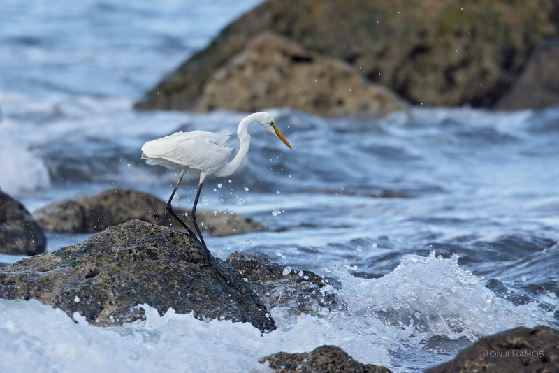 GREAT EGRET  <i>Egretta alba</i>   Batan, Batanes, Philippines