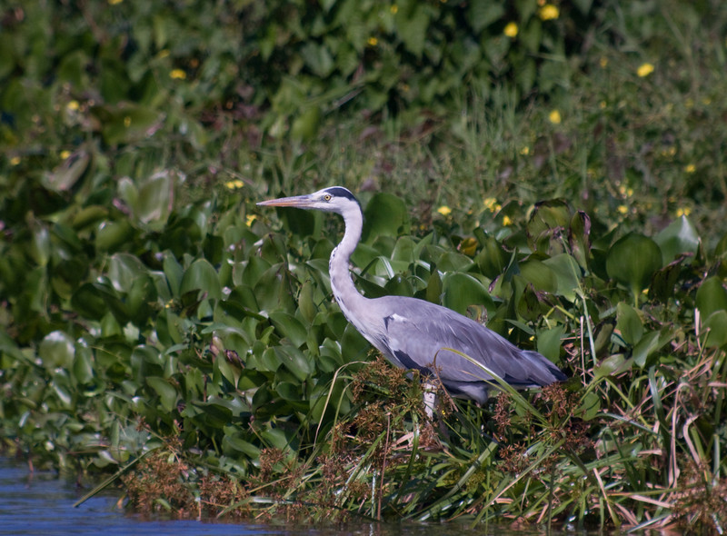 GREY HERON <i>Ardea cinerea</i> Candaba, Pampanga, Philippines