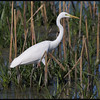 INTERMEDIATE EGRET <i>Egretta intermedia</i> Candaba, Pampanga, Philippines
