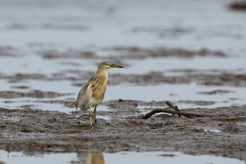 JAVAN POND HERON <i>Ardeola speciosa</i> Tibsoc, San Enrique, Negros Occidental