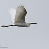 LITTLE EGRET  <i>Egretta garzetta</i>   Coastal Road Lagoon, Manila Bay, Philippines