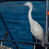 LITTLE EGRET  <i>Egretta garzetta</i>  Manila Yacht Club, Philippines
